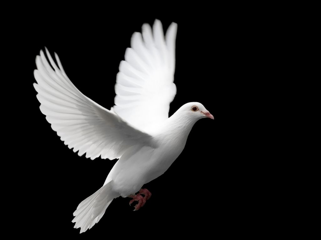 Cool High Quality Pix: Dove Wallpapers For Your Computer
