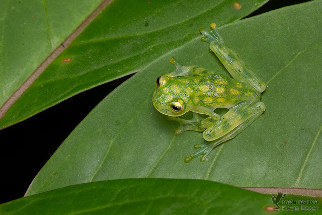 Hyalinobatrachium valerioi - Reticulated Glass Frog