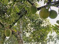 Asal Muasal Nama Durian Guru Dari Trenggalek