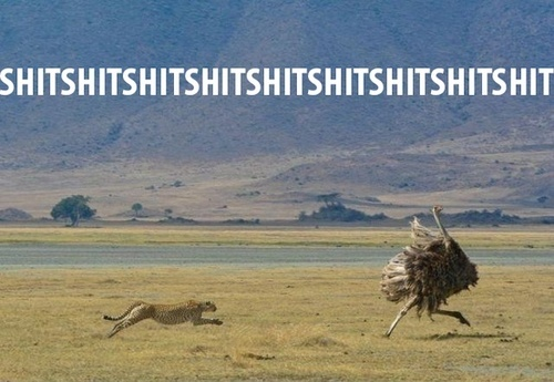 Funny Cheetah Chasing Ostrich Photograph Shit