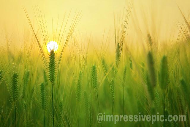 Wheat grass with sun rise