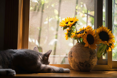 A grey cat is sleeping in a window next to a vase of sunflowers