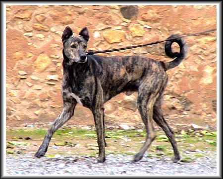 The Dog In World Cretan Hound Dogs