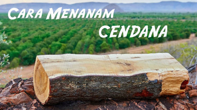 cara menanam pohon cendana