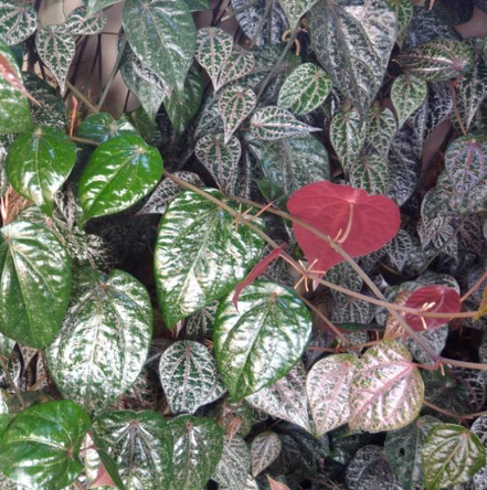 Benefits of red betel leaf