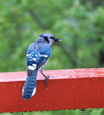 blue jay in rain