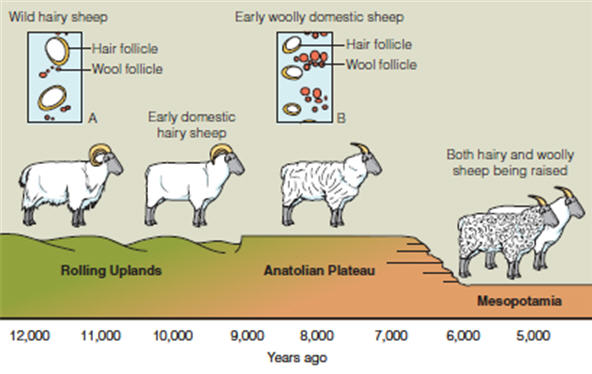MEAT ANIMALS, ORIGIN AND DOMESTICATION