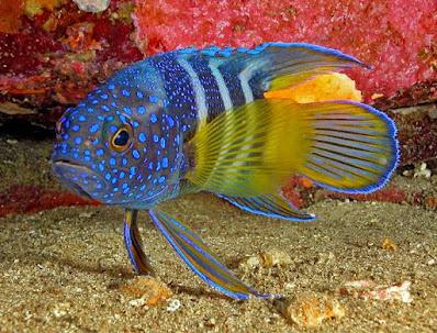 Ikan Hias Air laut Blue Devil