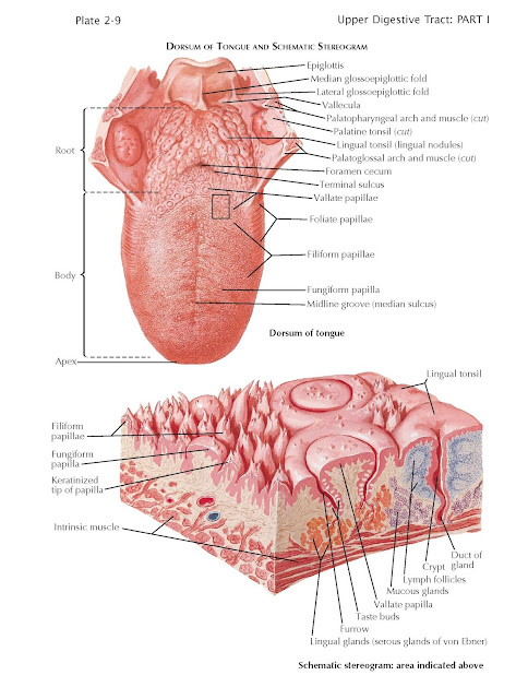 Tongue, DORSUM OF TONGUE AND SCHEMATIC STEREOGRAM, Dorsum of tongue, Schematic stereogram: area indicated above, Epiglottis Median glossoepiglottic fold, Lateral glossoepiglottic fold, Vallecula, Palatopharyngeal arch and muscle (cut), Palatine tonsil (cut) Lingual tonsil (lingual nodules) Palatoglossal arch and muscle (cut), Foramen cecum, Terminal sulcus, Vallate papillae, Foliate papillae, Filiform papillae, Fungiform papilla, Midline groove (median sulcus)