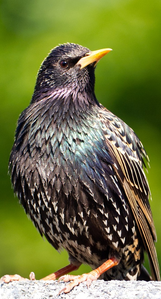 European starling bird.