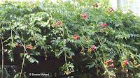 Trumpet vine blooms, attractive to hummingbirds - Anne's garden, Stratford, CT