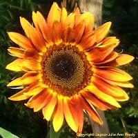 Beautiful Autumn Beauty Sunflower Blossom