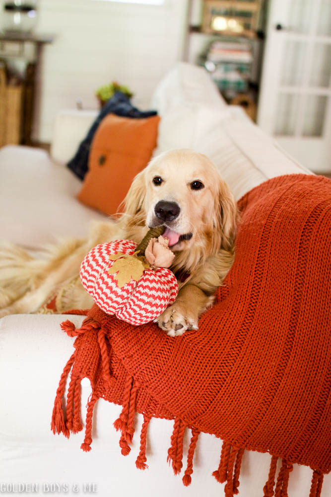 Golden Retriever with pumpkin on white slipcovered sofa