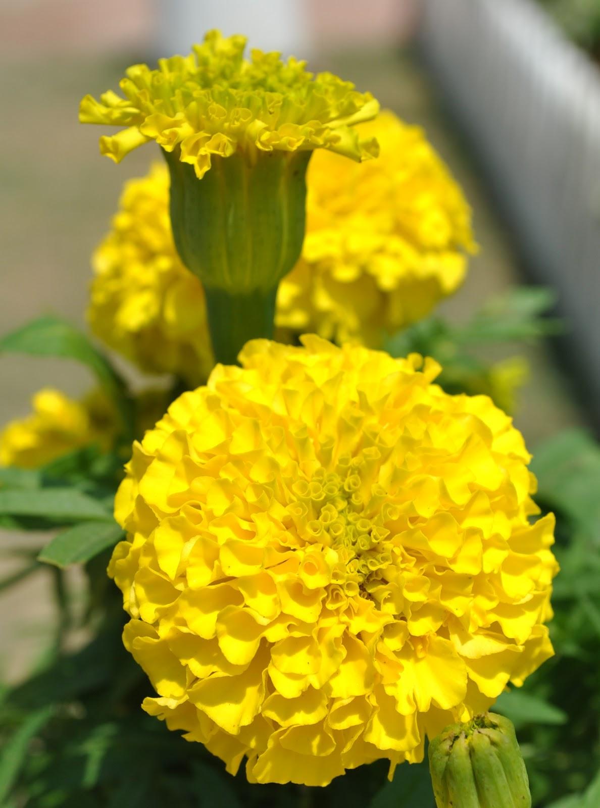 Bunga Tahi Ayam Untuk Arr Rian Catatan Anazkia