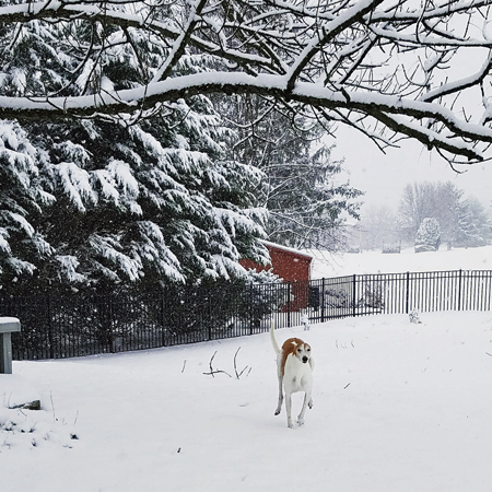 image of Dudley the Greyhound running in the backward, through the snow