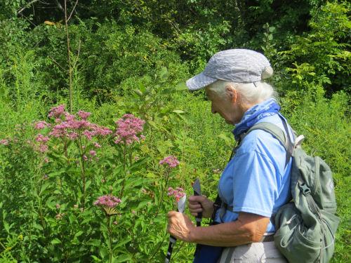 hiker studying Joe Pye Weed