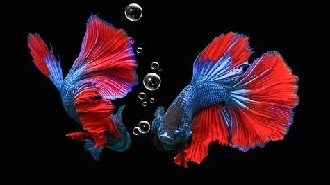 Apa Manfaat Cacing Sutra Untuk Ikan Cupang?