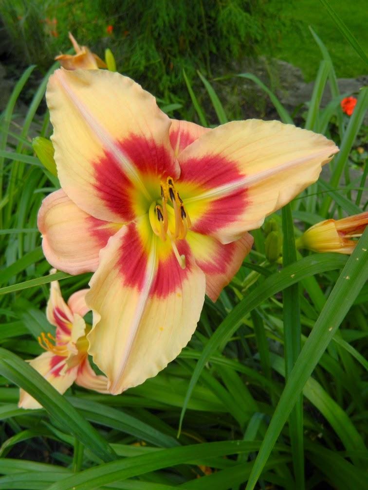 Black eyed Stella Hemerocallis daylily by garden muses-not another Toronto gardening blog