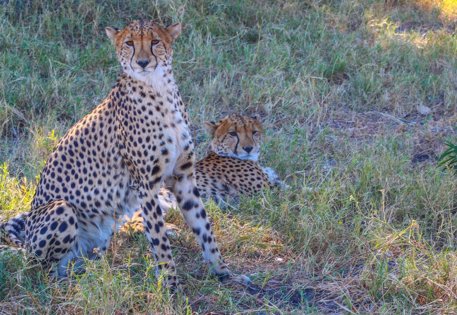 Cannundrums Southern African Cheetah