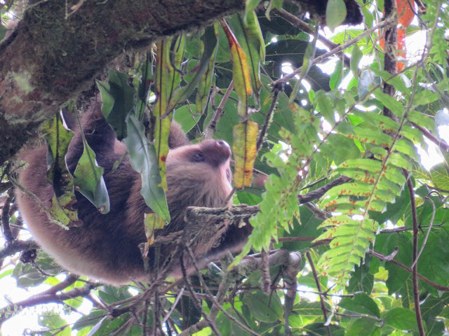 Costa Rica Wildlife: Sloth in Monteverde Cloud Forest