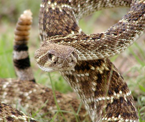 Are Diamondback Rattlesnakes Endangered