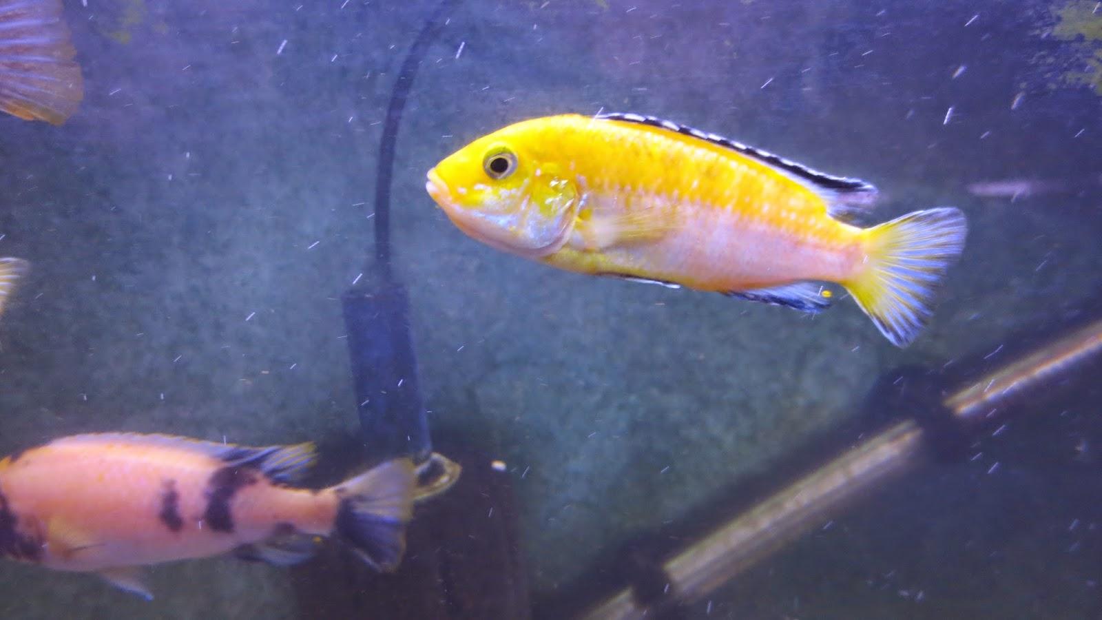 mal/tang fish: Labidochromis caeruleus Yellow Lab. 8-27-14  mal/tang fish: ...
