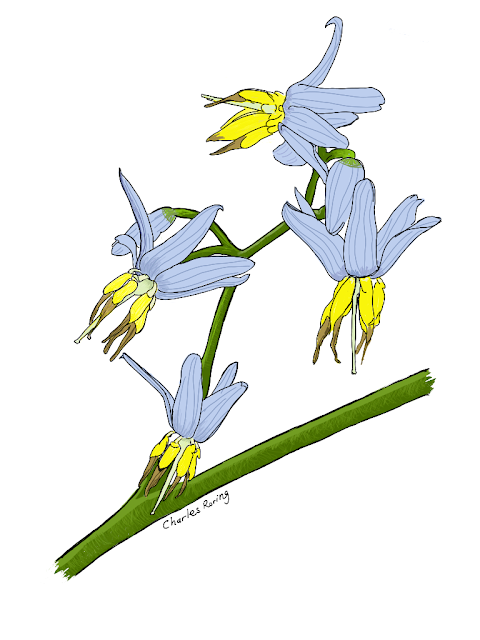 Drawing of rainforest orchid flower