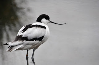 A black and white avocet, taken at Slimbridge, UK