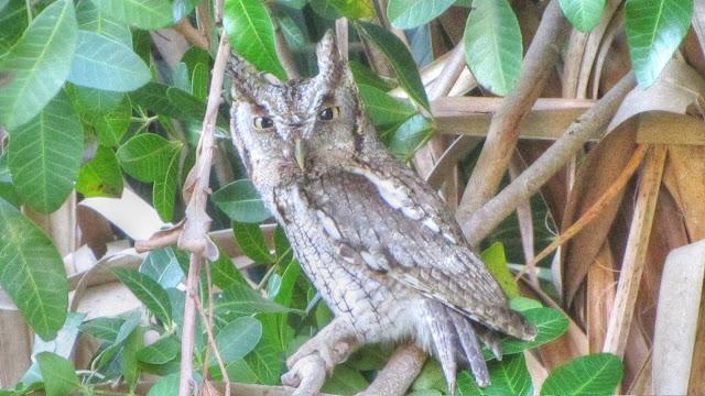 Eastern Screech Owl Father