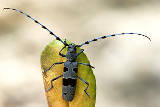 Para ampliar Rosalia alpina (Linnaeus 1758) Longicornio del haya hacer clic