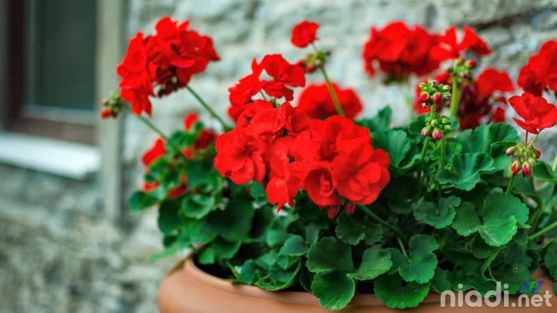 bunga geranium tapak dara tanaman pengusir nyamuk dan tikus