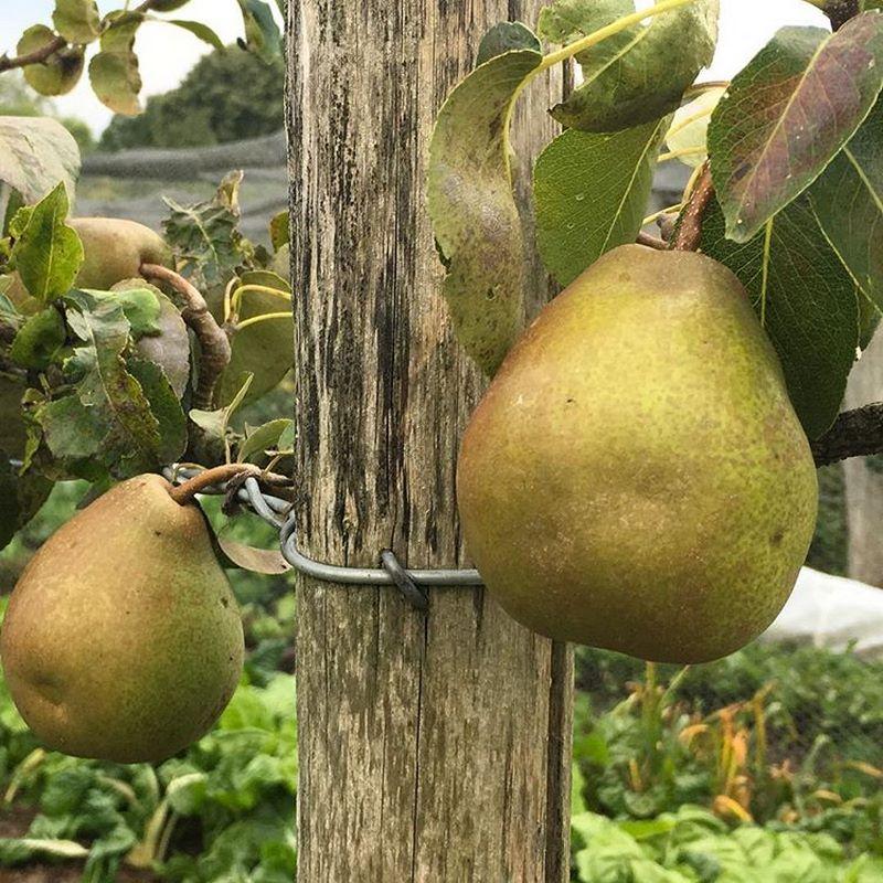 Jardín comestible Great Dixter. peras