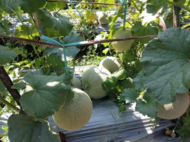 Tingkatkan Ekonomi Saat Pandemi, Petani di Tegal Ganti Tanaman Padi dengan Melon