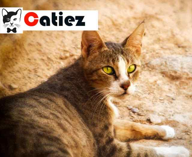 Arabian Mau cat Breed