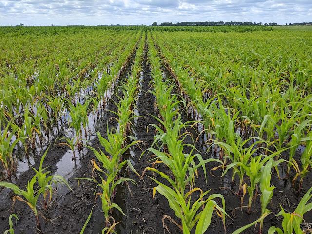 heavy rainfall nutrient loss Minnesota