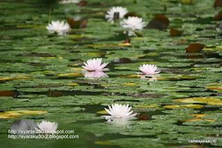 咲き並ぶ睡蓮の写真