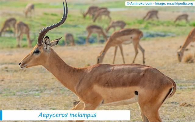 Fakta unik tentang impala