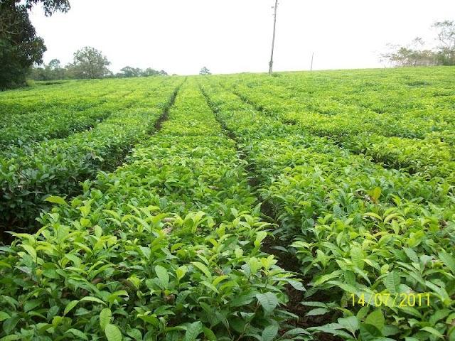A História da Plantação de Chá no Vale do Ribeira