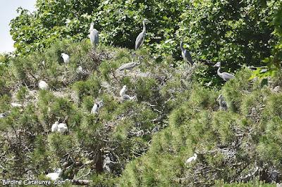 Zona de nidificació d'ardeids
