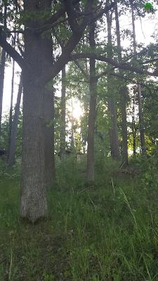 świetlisty las - oryginał