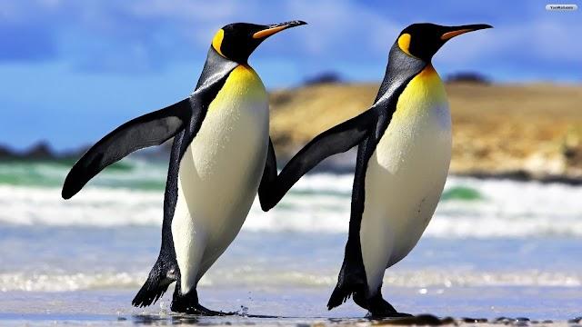 Σχέσεις εξ αποστάσεως: Οι πιγκουίνοι μπορούν να διατηρήσουν τη σχέση τους