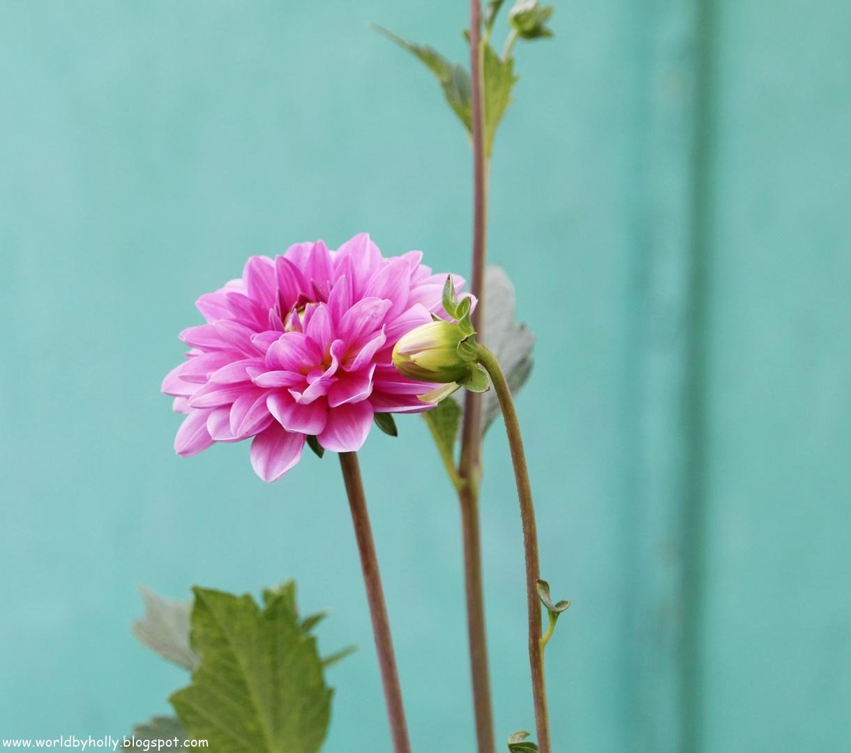 piekne kwiaty do ogrodu, kwiaty cebulowe, ogród vintage, ogród shabby chic, dalia, georginia