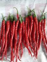 jual benih terbaru, cabe keriting harga murah, benih f1 rampalis, toko pertanian, toko online, lmga agro