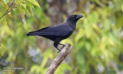 Binggai Crow