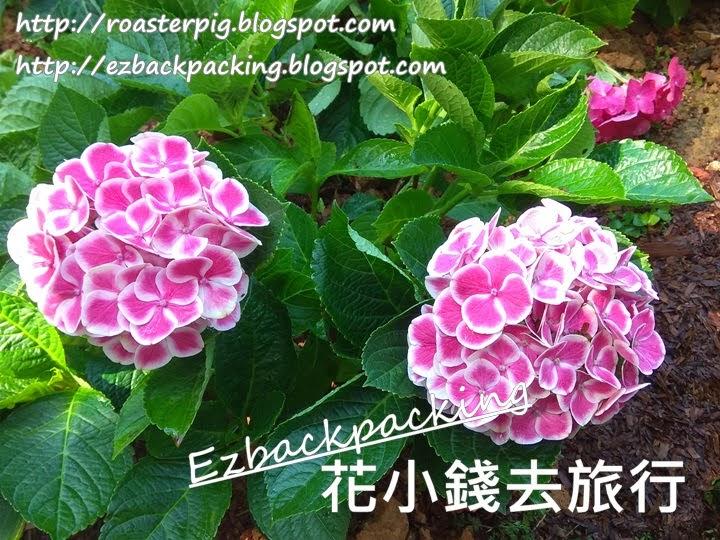 香港繡球花好去處 :山頂看繡球花