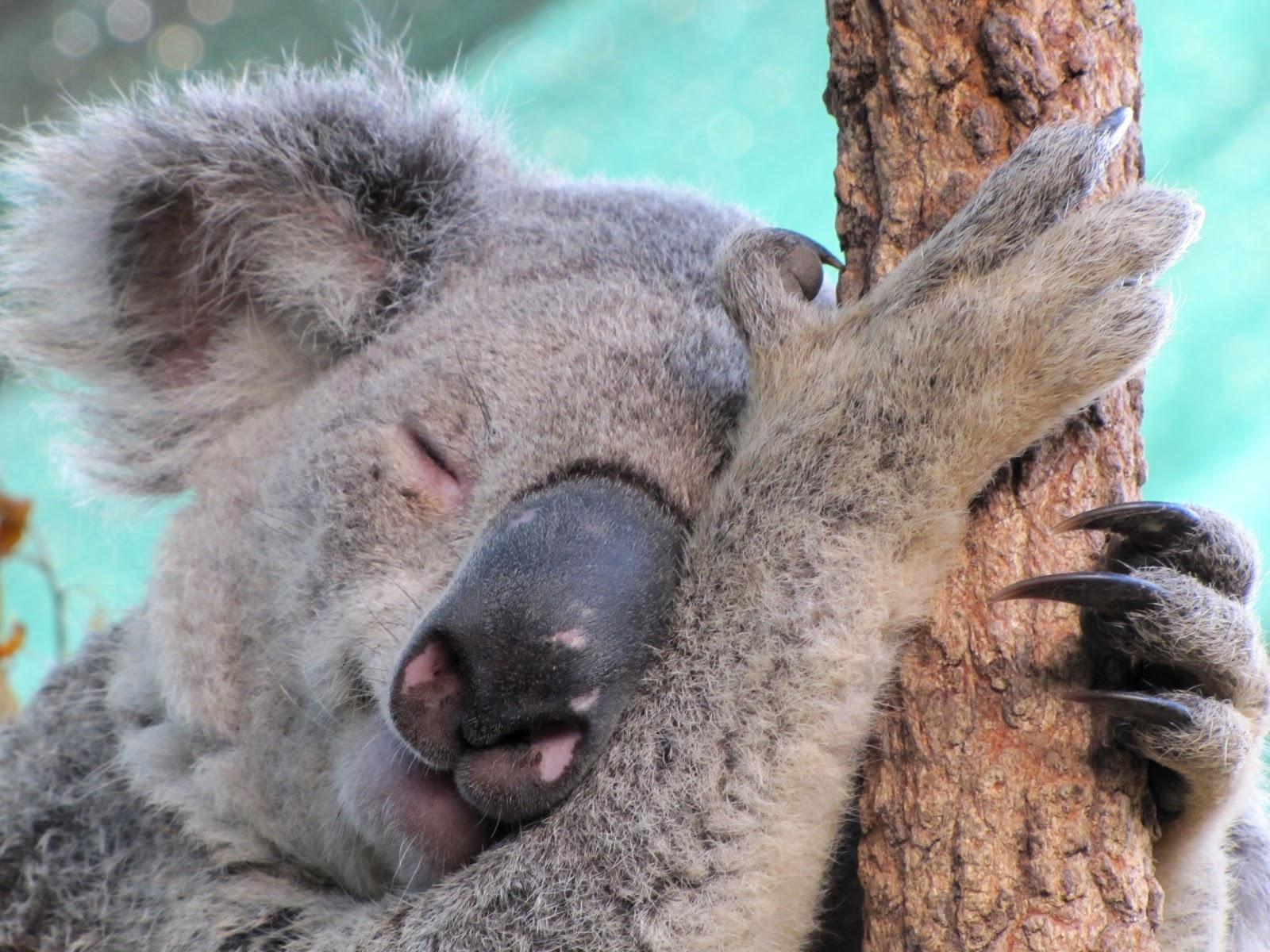 smiling koala picture - HD1600×1200