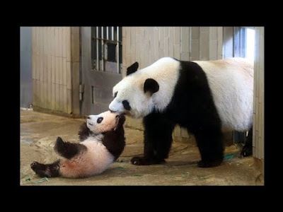 top cute video funny panda on youtube
