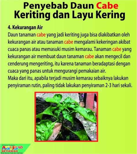 penyakit keriting pada tanaman cabe