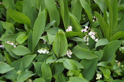 Mostly green leaves with a few white lily of the valley blooms