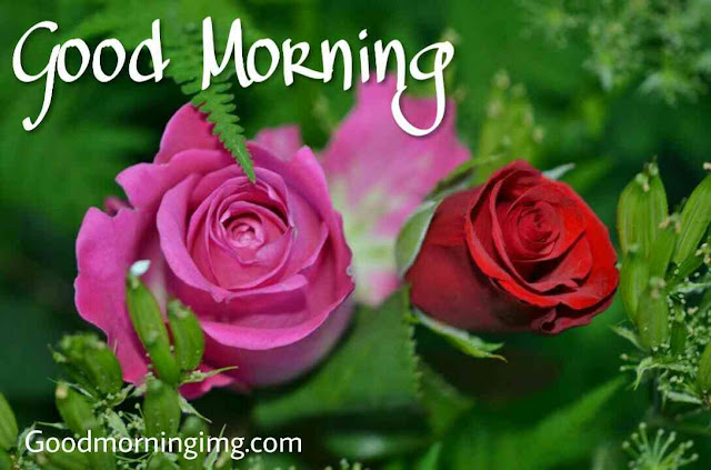 Beautiful good morning images , pics and photos of pink rose and red rose flowers
